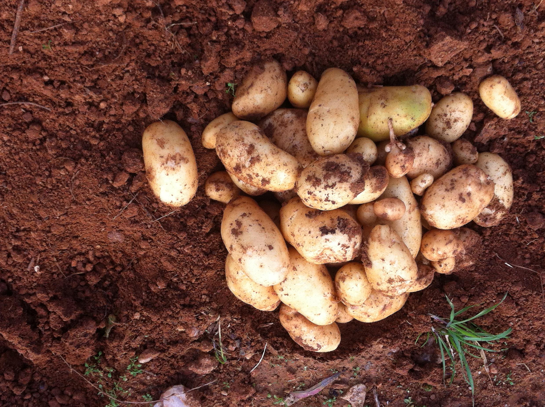 συγκομιδή πρώιμης πατάτας